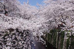 中目黒桜 by DJ 19.jpg